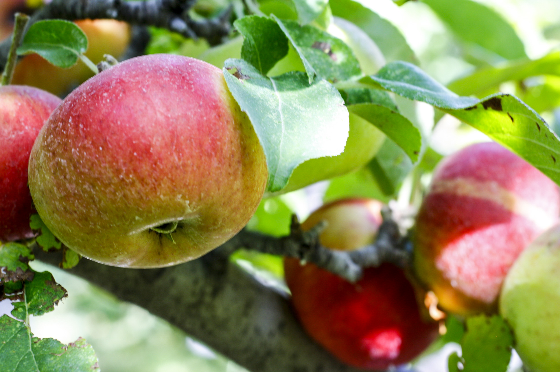 Apple picking is one of the fun fall festivities in Rexburg.