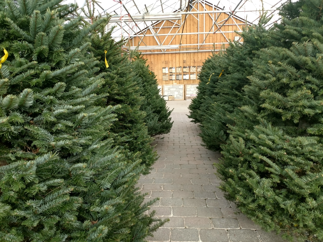 Lone Pine Nursery is one of the places to get Christmas trees in Rexburg.