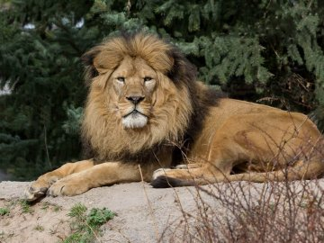 Lion at the Idaho Falls Zoo